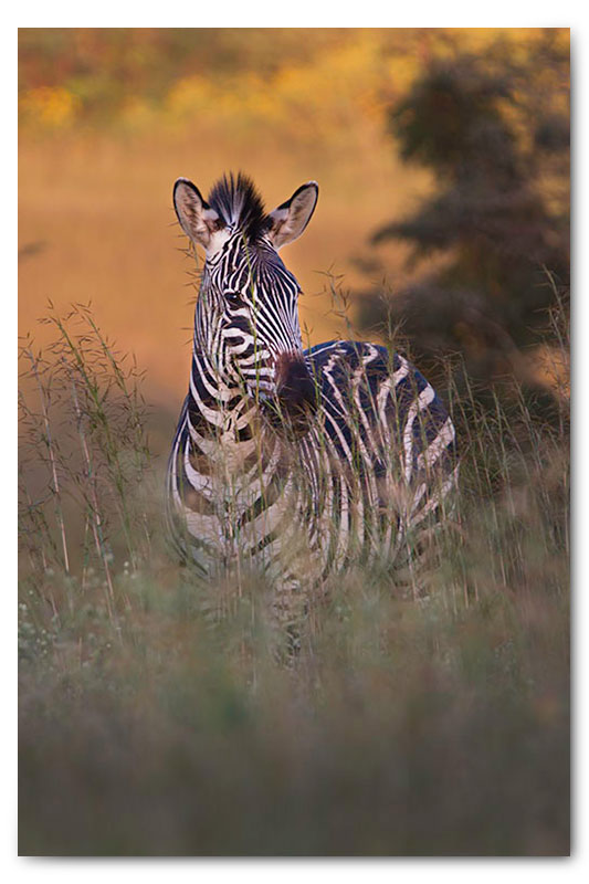 zebra in wild flowers kge