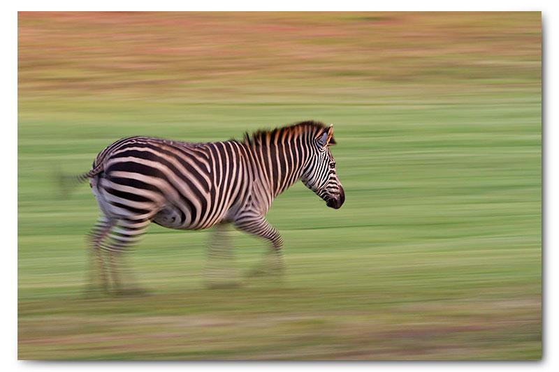 running zebra paning motion blur kge