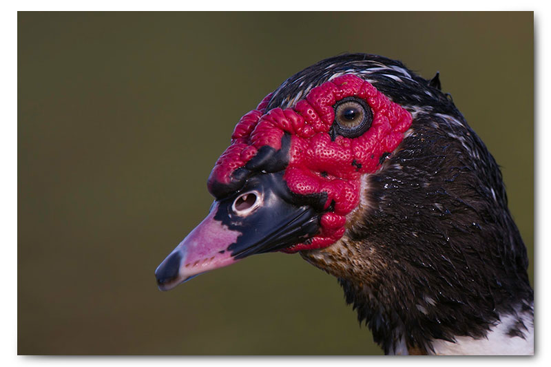 Muscovy Duck drake kge