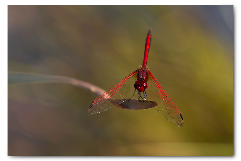 red dragonfly on reed kge