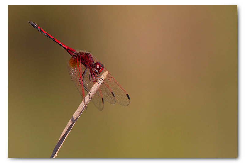 red dragonfly on reed stalk