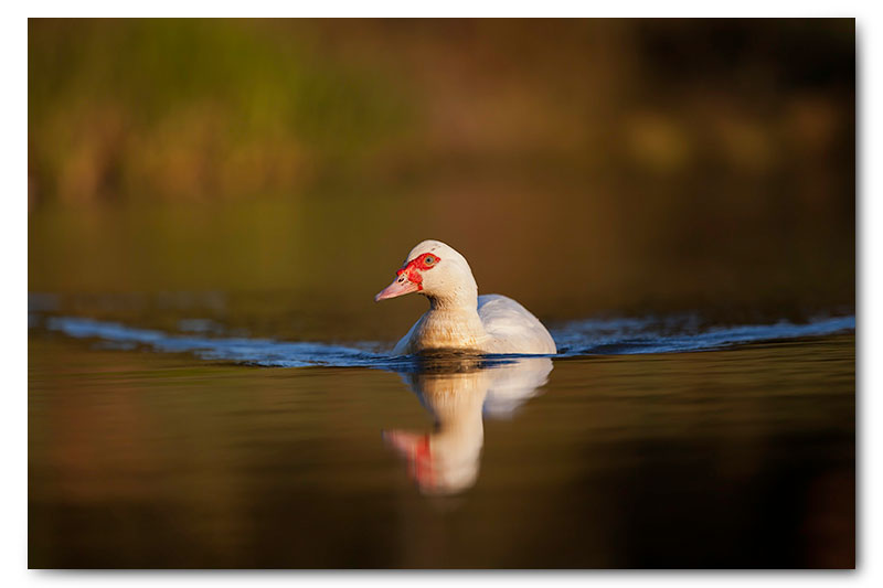 muscovy duck swimming reflection dam water kge