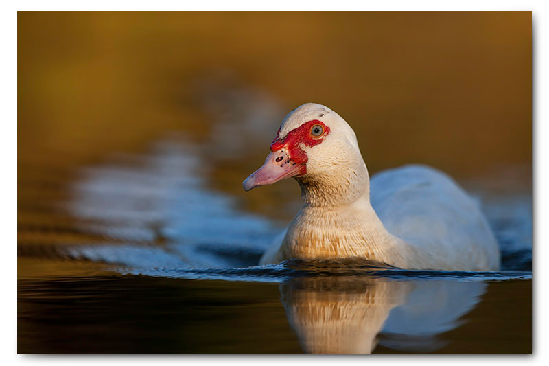 muscovy duck on water kge