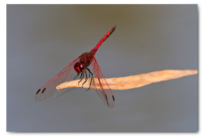 red dragon fly on reed stalk