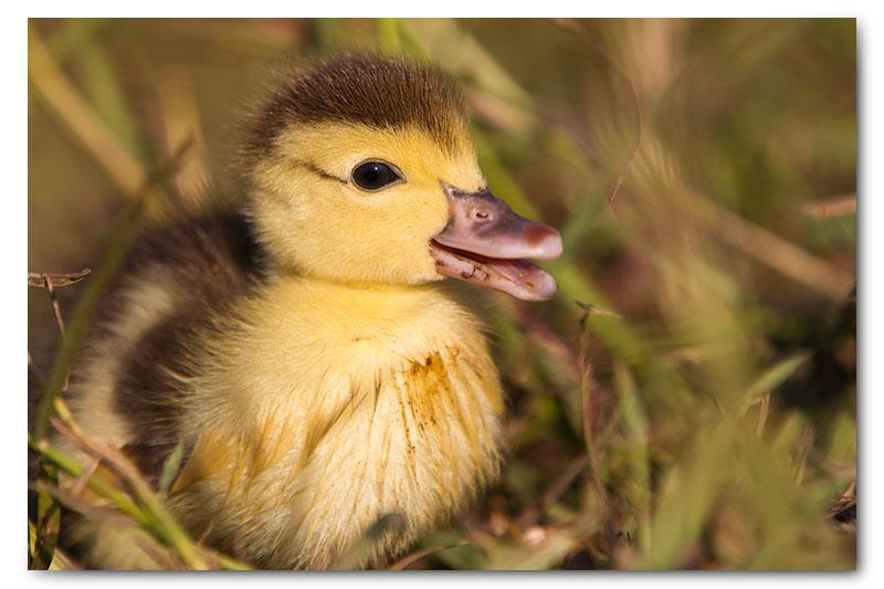 mascovy duckling