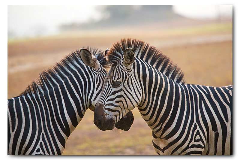 two zebras interacting