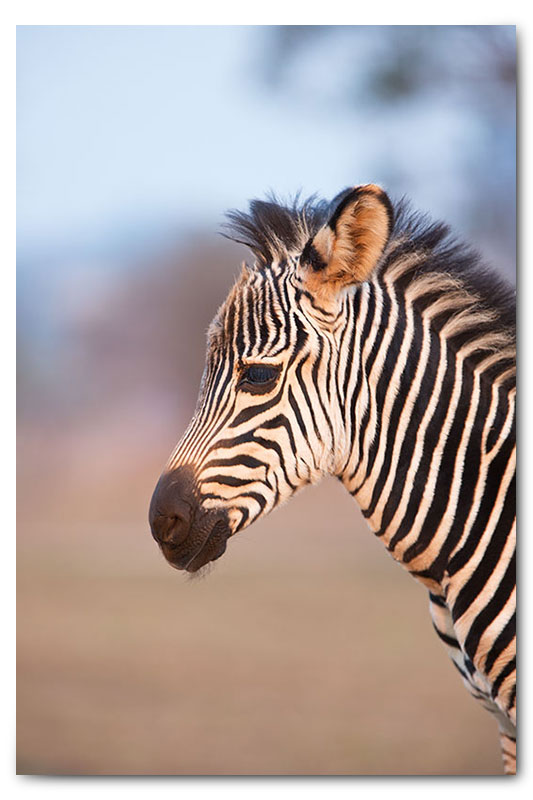 baby zebra calf portrait