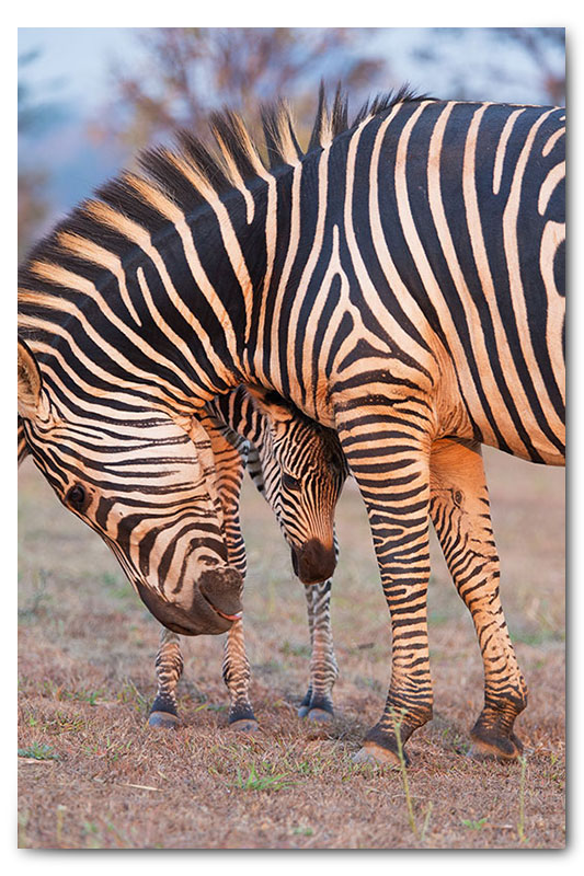 zebra with ababy calf