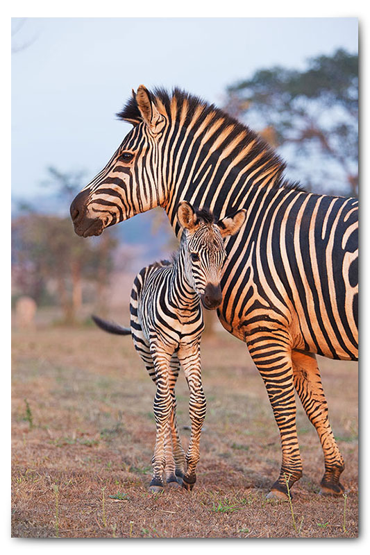 zebra with baby calf