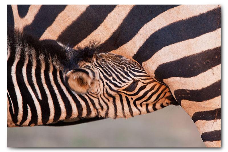 baby zebra calf suckling