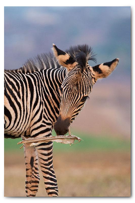 baby zebra calf