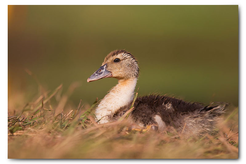 duck sitting in grass