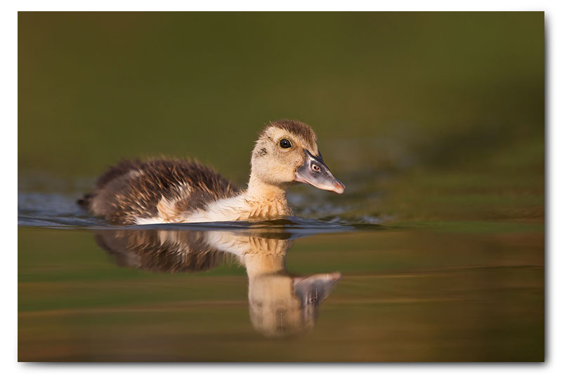 duck swimming in soft light
