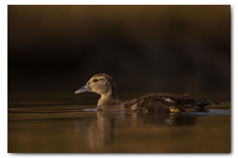 duck duckling swimming in soft light