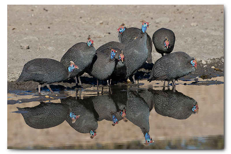 guineafoul reflection at waterhole klaserie