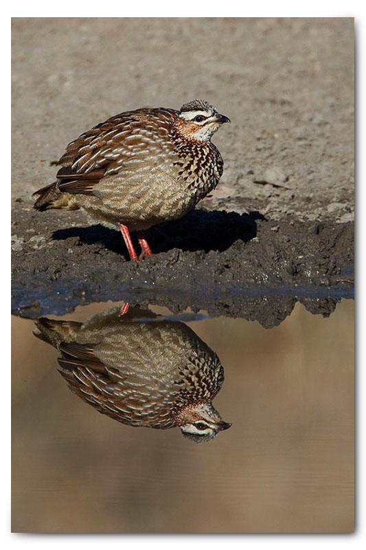 crested francoline reflection waterhole klaserie