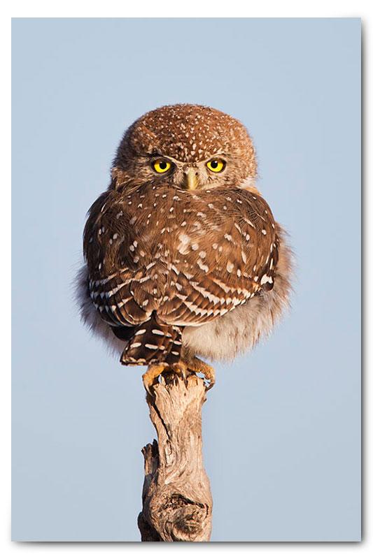 pearl spotted owl klaserie