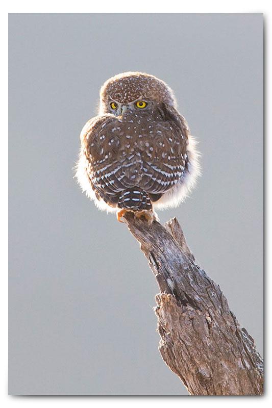 backlit pearl spotted owl klaserie