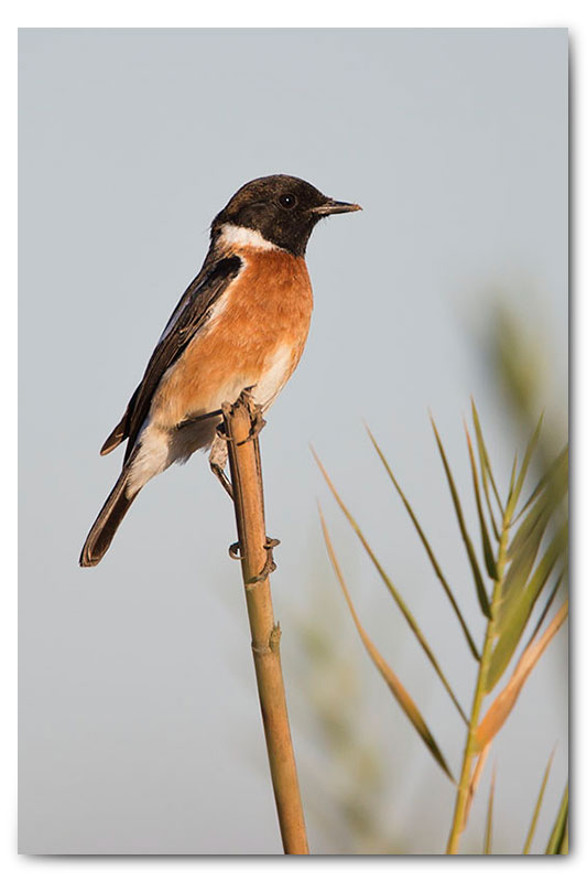 stone chat on a stick