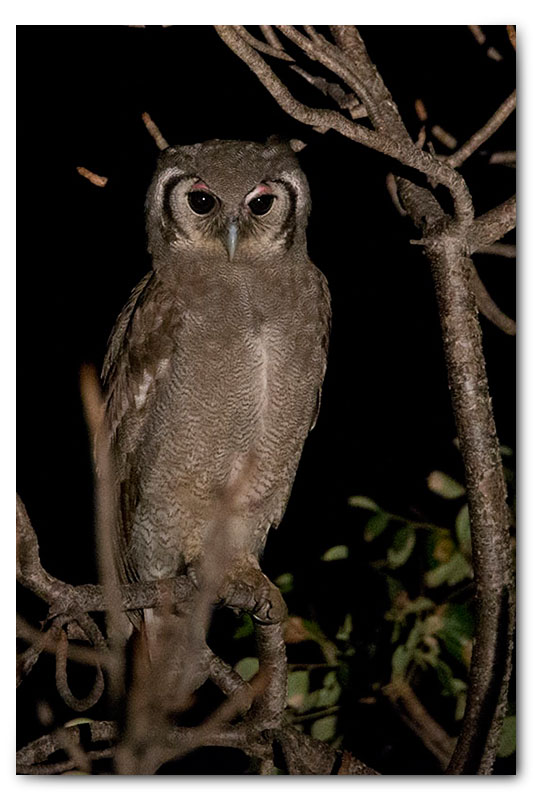 giant eagle owl spotlight shot