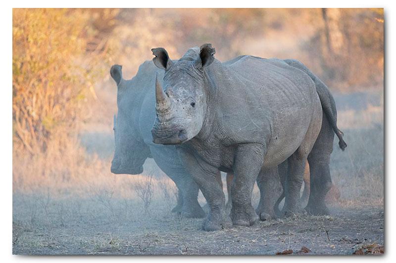 rhinos in klaserie