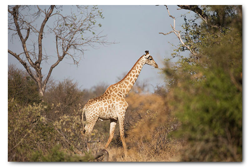giraffe in klaserie natural habitat