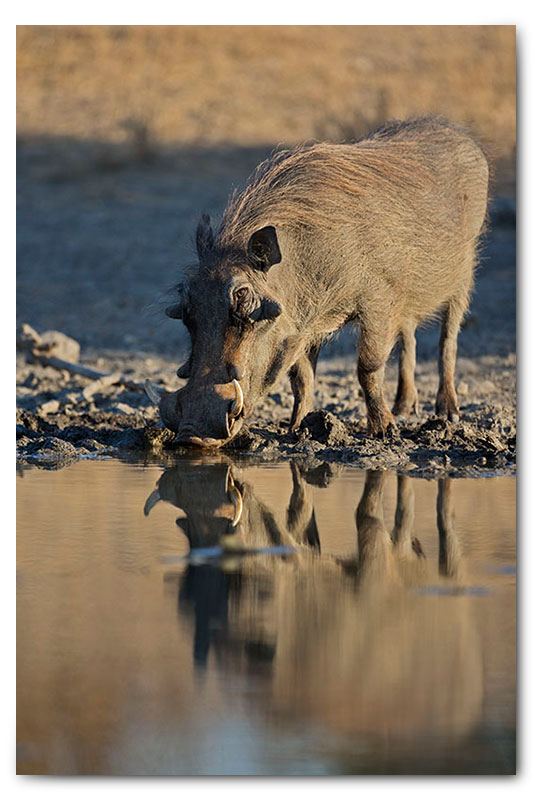 warthog with reflection drinking