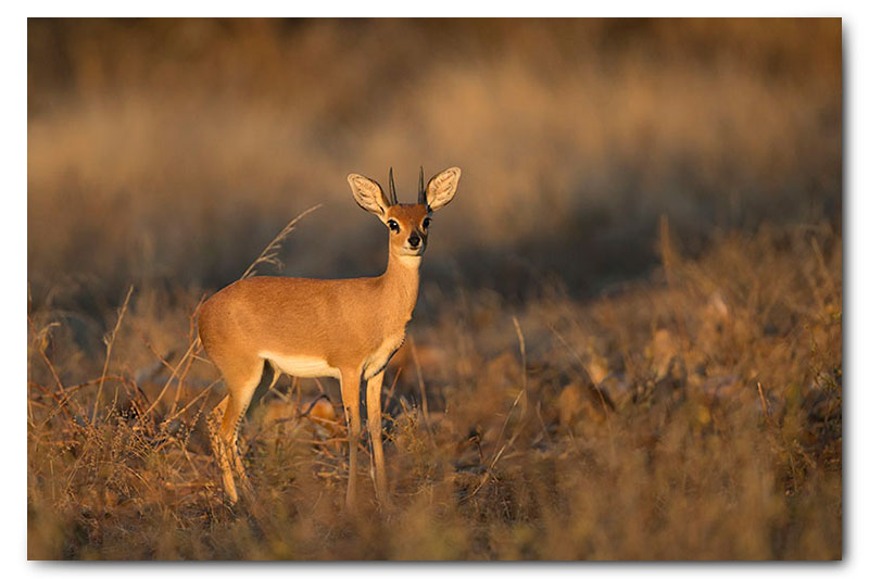 steenbok in soft light