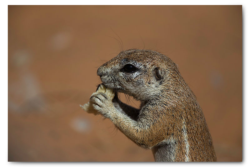 kgalagadi ground squirrel