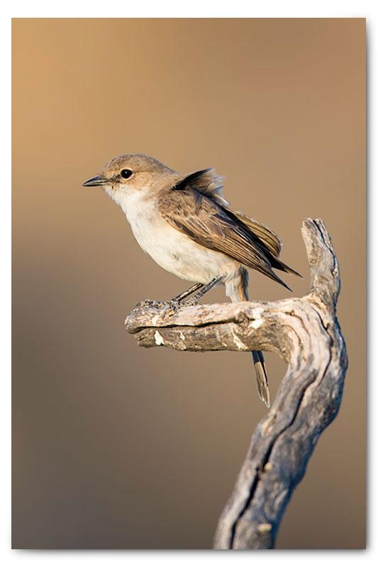 Marico flycatcher kgalagadi