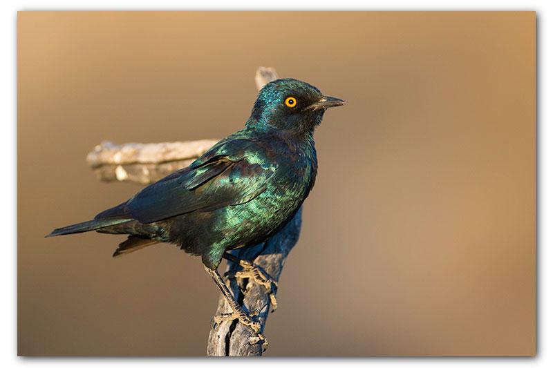 glossy starling kgalagadi