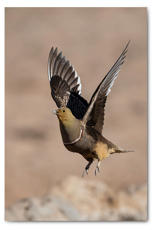sandgrouse in kgalagadi