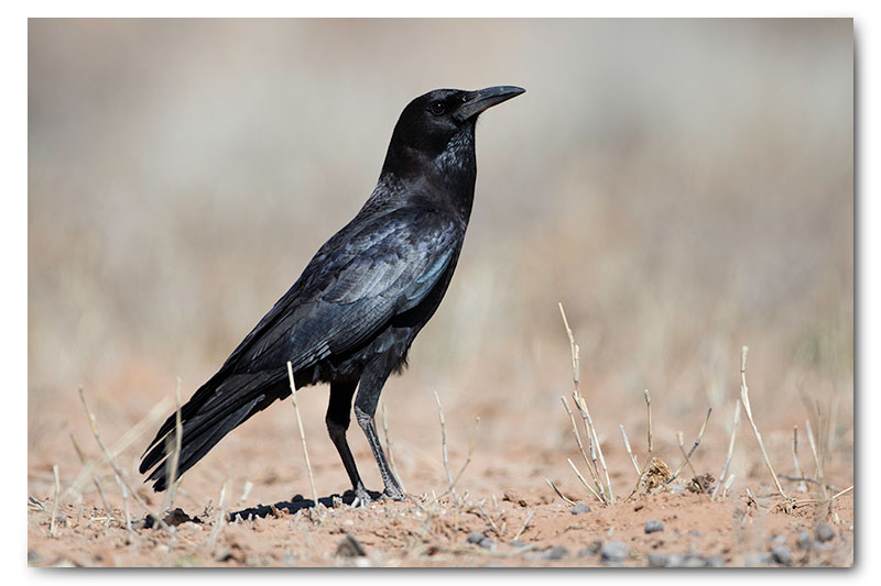 black crow in kgalagadi