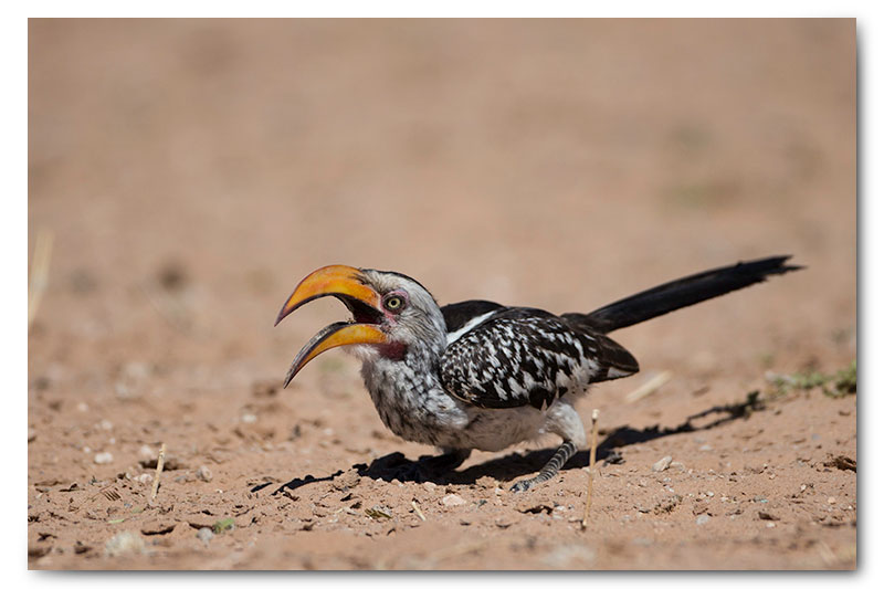 yellow billed hornbill in kgalagadi
