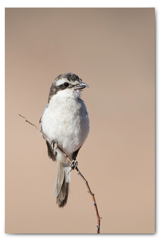 fiscal flycatcher in kgalagadi