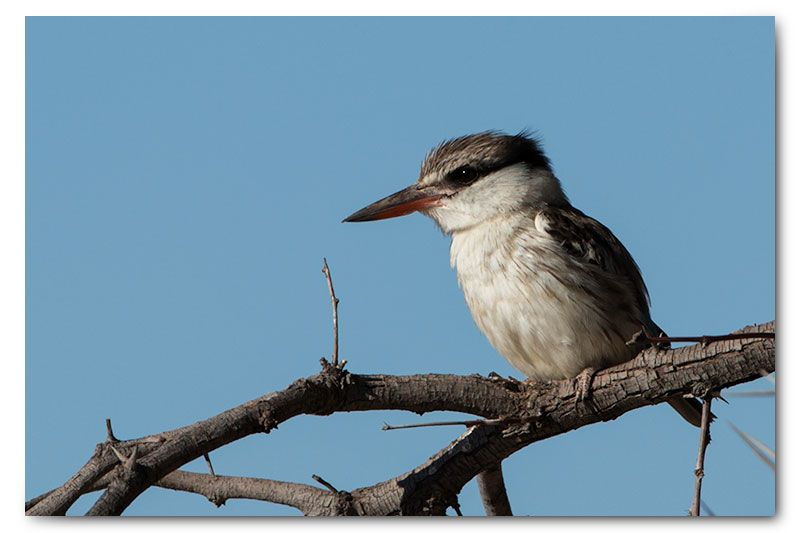 striped kingfisher in kgalagadi