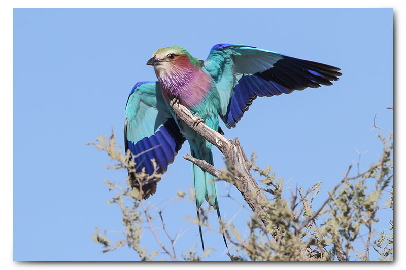 lilac breasted roller landing in kgalagadi