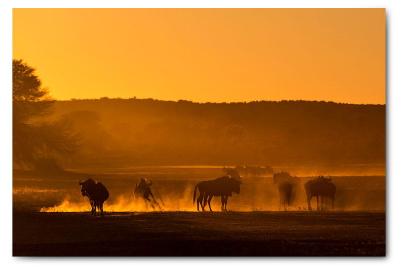 wildebeest in dust at sunrise in kgalagadi