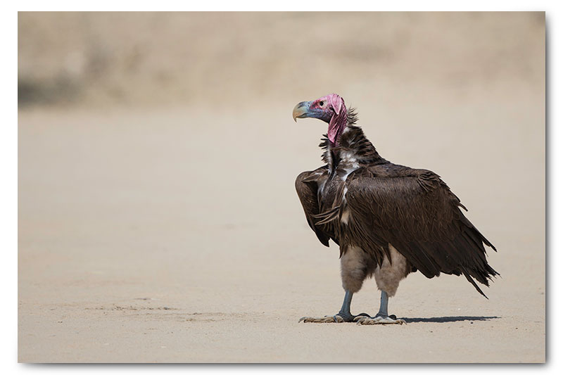 lappet faced vulture in kgalagadi
