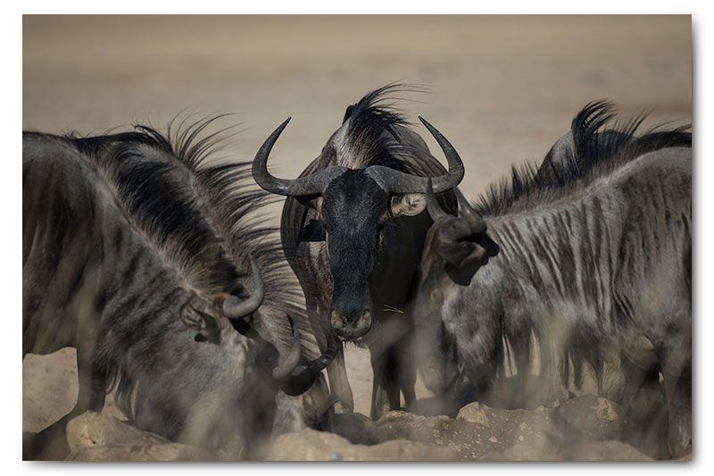 wildebeest drinking in kgalagadi
