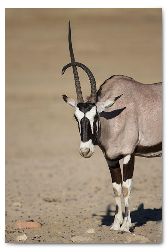 gemsbok with deformed horn in kgalagadi