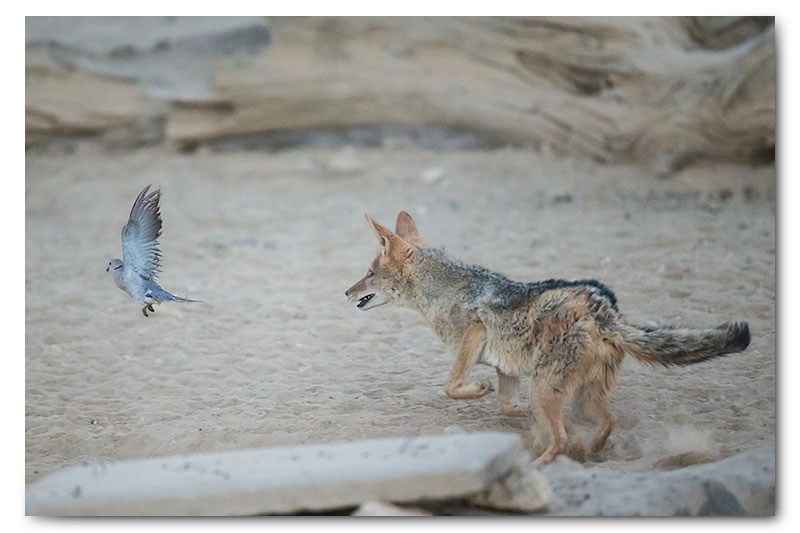 jackal hunting dove in kgalagadi