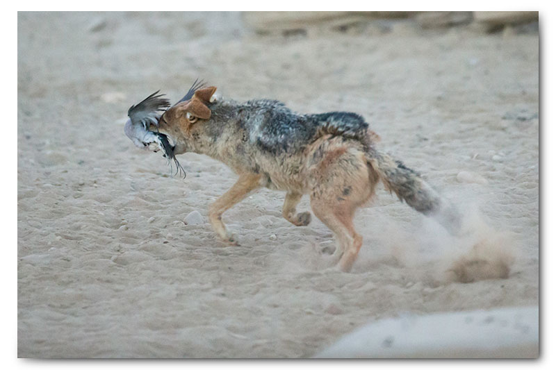 jackal hunting dove in kgalagadi