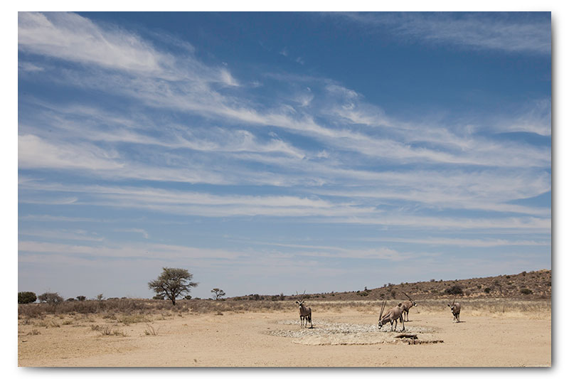 gemsbok at waterhole in kalahari kgalagadi