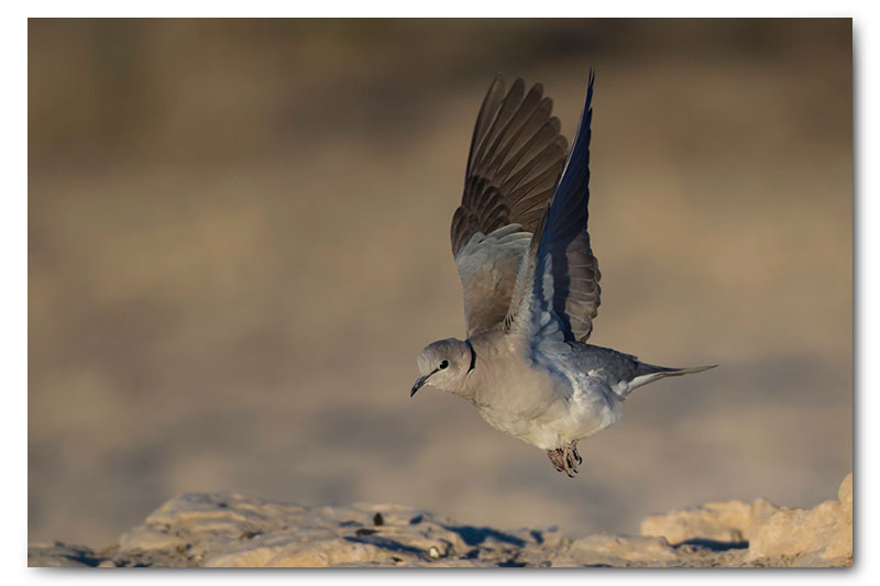 cape turtle dove takeoff