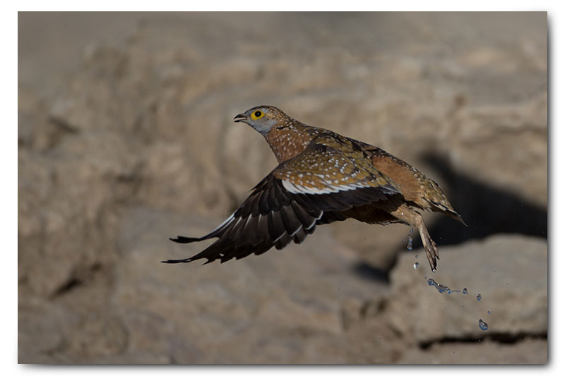 sandgrouse takeoff