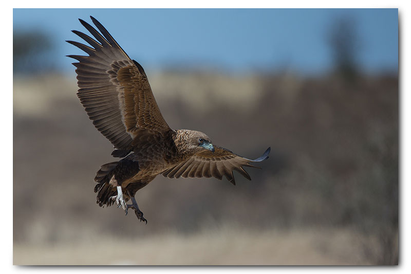 juvenile bateleur in flight