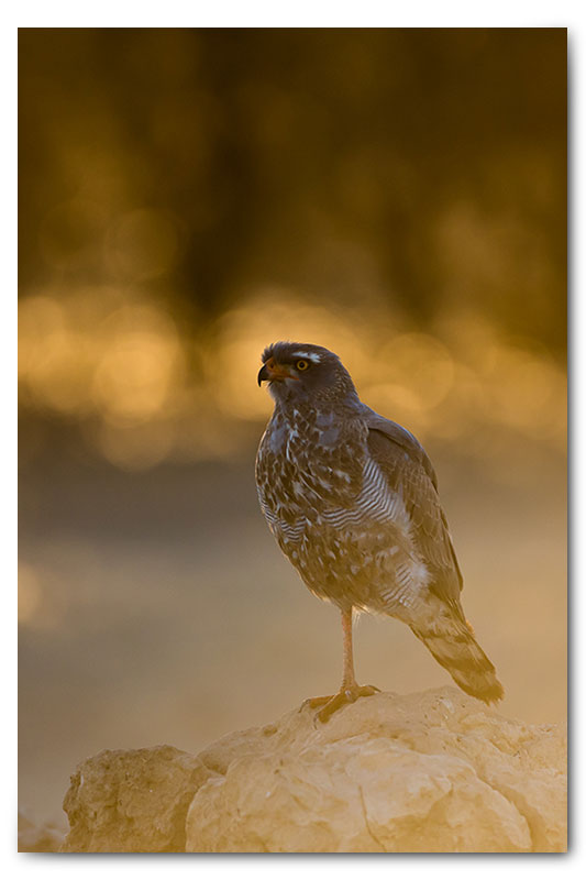 Pale chanting goshawk backlight