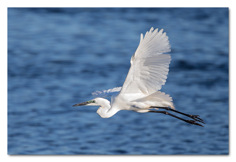 great white egret flying flight chobe river