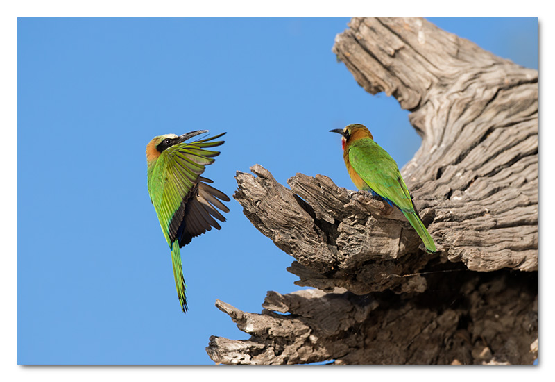 white-fronted bee-eater chobe river